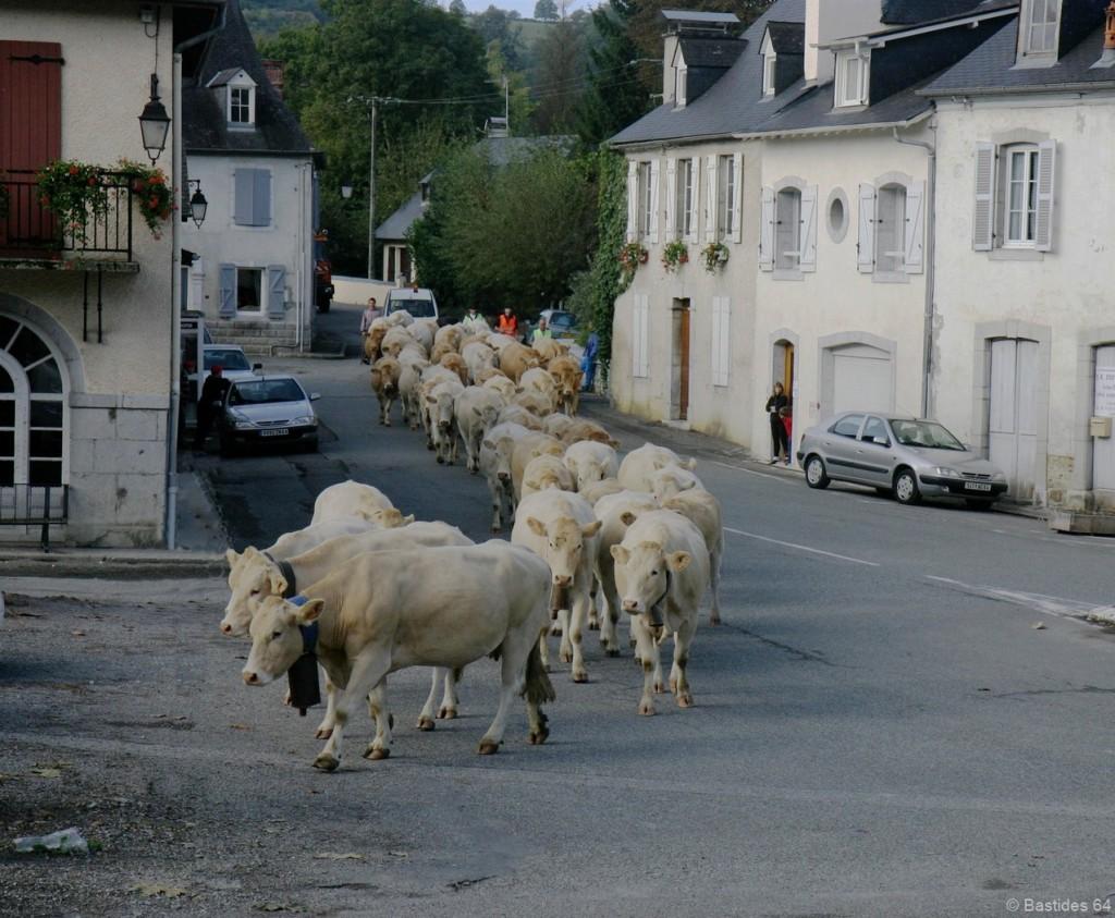 Rébénacq, des vaches en transhumance
